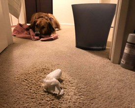 Trying to remove dog vomit from carpet