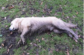"""Golden Retriever muddy and laying in the yard <a href=""""https://commons.wikimedia.org/wiki/File:Golden_Retriever_muddy_and_tired_on_Christmas_day_2011.jpg"""">Aidan Piercy</a>, <a href=""""https://creativecommons.org/licenses/by-sa/4.0"""">CC BY-SA 4.0</a>, via Wikimedia Commons"""
