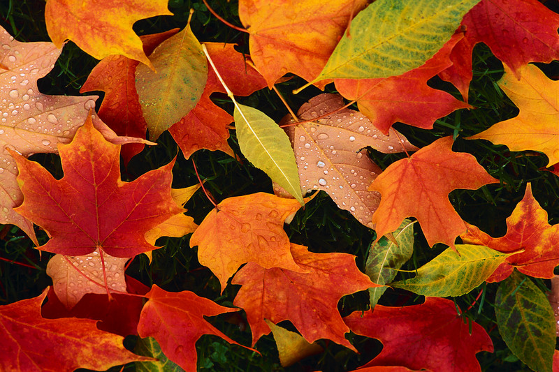 Picture of Fall Leaves