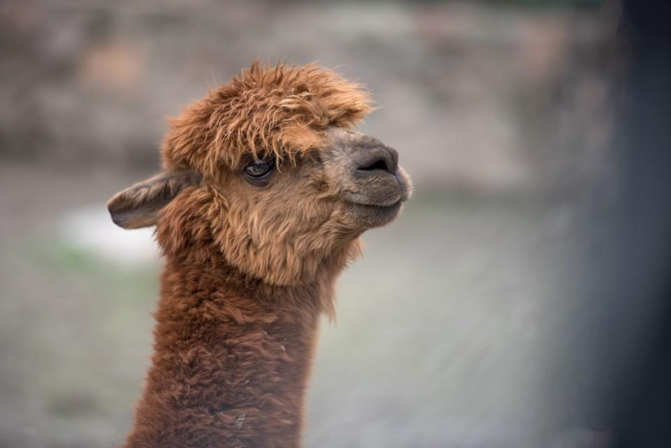 baby-llama-head