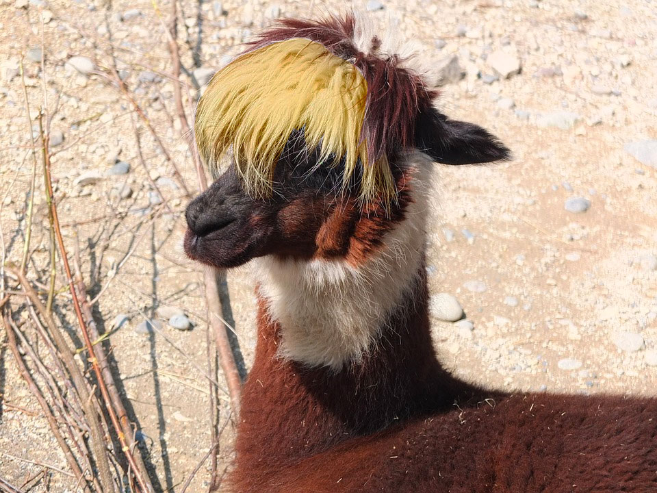 Operation Blonde Llama - Part 2