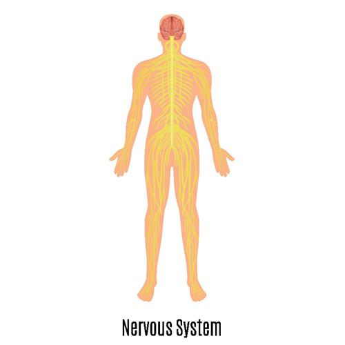 Human Nervous System illustration (source: freepik.com)